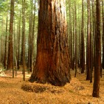 A Lesson and Prayer Inspired by Redwood Trees